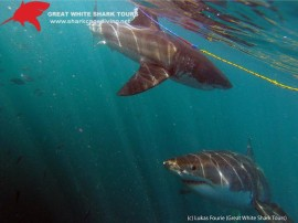 Shark_tour_uwsharks2