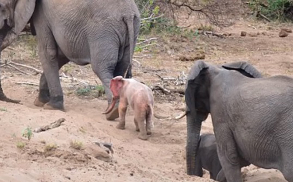Extremely Rare Baby Albino Elephant Spotted In the Kruger National Park