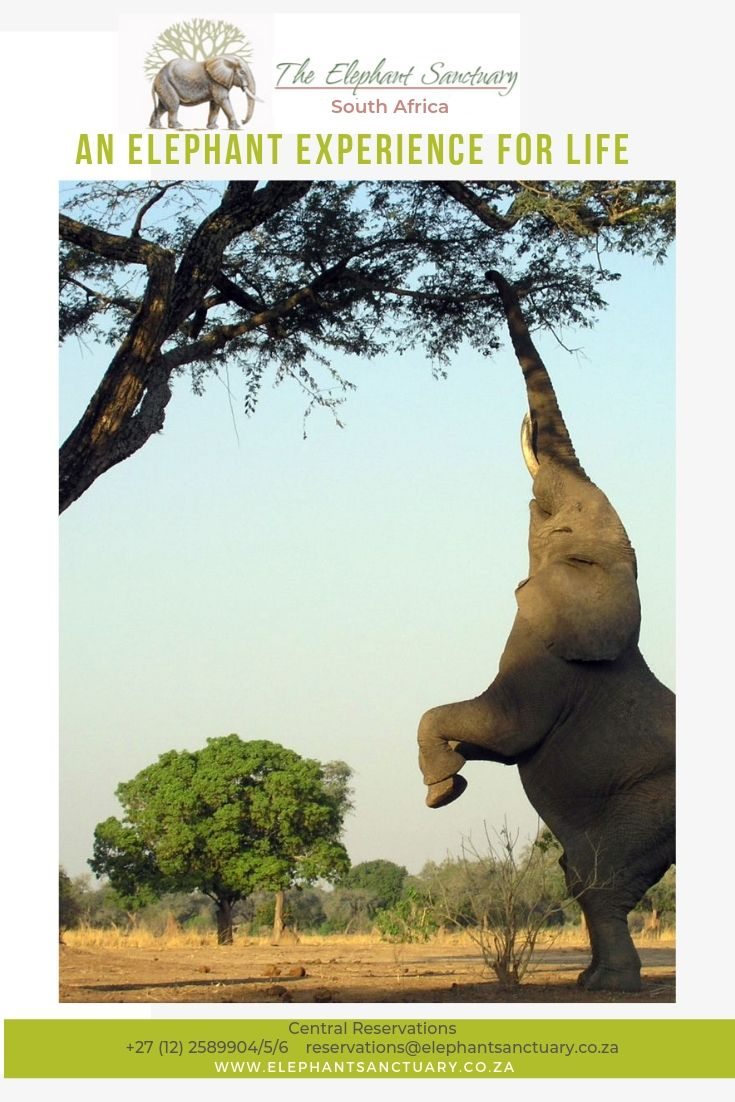 Acacia Trees Prevent Elephant Attacks With Armies of Ants