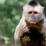 Swingers of the Forest - Mischievous Capuchin Monkeys
