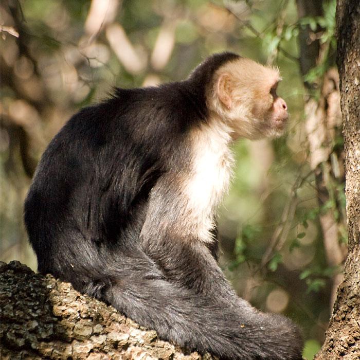Swingers of the Forest - Mischievous Capuchin Monkeys