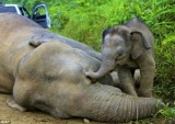 An elephant calf will only learn how to use its trunk properly at about six months of age. And 6 more elephant facts